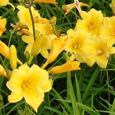 Hemerocallis 'Stella de Oro' - Daglelie - Hemerocallis 'Stella de Oro'