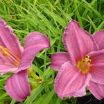 Hemerocallis 'Summer Wine' - Daglelie