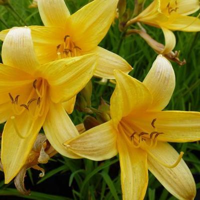 Hemerocallis middendorffii - Daglelie - Hemerocallis middendorffii