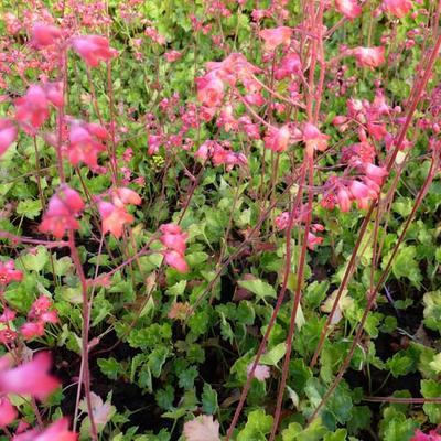 Heuchera x brizoides 'Red Spangles' -