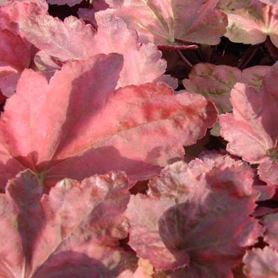 Heuchera 'Autumn Leaves' -