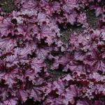 Purperklokje - Heuchera 'FOREVER Purple'