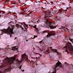 Heuchera 'Grape Soda' - Purperklokje