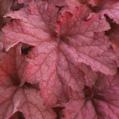 Heuchera INDIAN SUMMER 'Coralberry' -