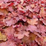 Heuchera LITTLE CUTIE 'Blondie' - Purperklokje, miniatuur - Heuchera LITTLE CUTIE 'Blondie'