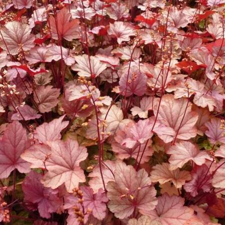 Heuchera CITY 'Vienna'