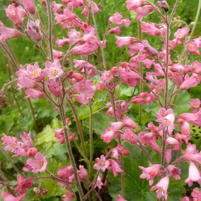 Heuchera sanguinea 'Bressingham Hybrids' -