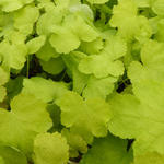 X Heucherella 'HAPPY HOUR Lime' - Purperklokje