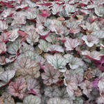 X Heucherella 'Twilight' - Purperklokje