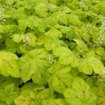 X Heucherella 'Yellowstone FALLS' - Purperklokje