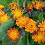 Pilosella aurantiaca - Oranje havikskruid - Pilosella aurantiaca