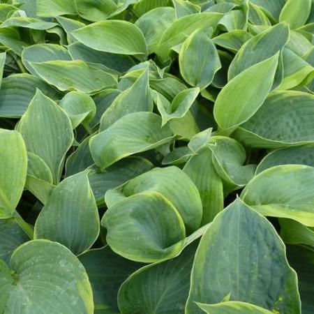 Hosta 'Alvatine Taylor'
