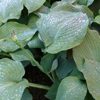 Hartlelie - Hosta 'Blue Angel'