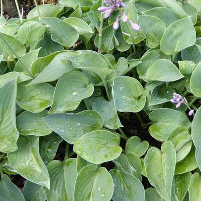 Hartlelie - Hosta 'Blue Cadet'