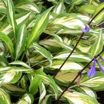 Hosta 'Cherry Berry' - Hartlelie/Funkia