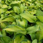 Hosta 'Color Glory' - Hartlelie