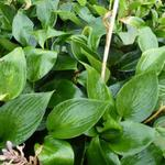 Hosta  'Devon Green' - Hartlelie/Funkia