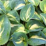 Hosta 'Dream Weaver' - Hartlelie/Funkia