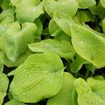 Hosta 'Golden Sunburst' - Hartlelie / funkia