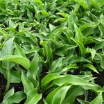 Hartlelie/Funkia - Hosta 'Harry van Trier'