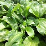 Hosta 'Honeybells' - Hartlelie