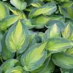 Hartlelie/Funkia - Hosta 'June'