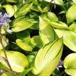 Hosta 'June Fever' - Hartlelie/Funkia