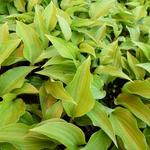 Hosta 'Little Red Rooster' - Hartlelie / funkia