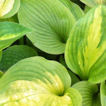 Hosta 'Little Sunspot'