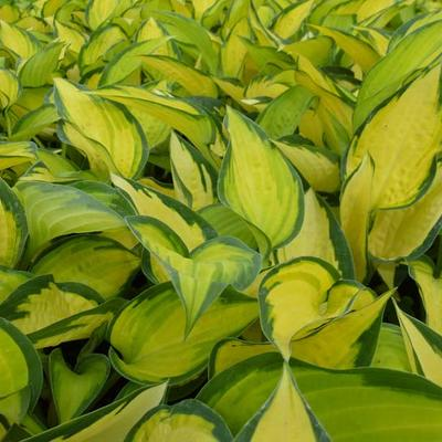 Hartlelie/Funkia - Hosta 'Orange Marmalade'