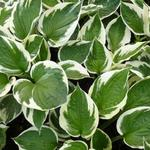 Hosta 'Patriot' - Hartlelie