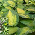 Hosta 'Paul's Glory' - Hartlelie/Funkia