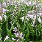 Hosta 'Praying Hands' - Hartlelie/Funkia