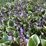 Hosta 'Queen Josephine' - Hartlelie/Funkia