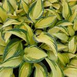 Hosta 'Remember Me' - Hartlelie/Funkia