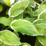 Hosta 'Sugar and Cream' - Hartlelie/Funkia