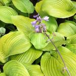 Hosta 'Sum and Substance' - Hartlelie/Funkia