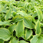 Hosta 'The King' - Hartlelie/Funkia - Hosta 'The King'