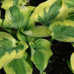 Hartlelie - Hosta 'Wide Brim'
