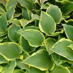 Hosta 'Yellow River' - Hartlelie/Funkia