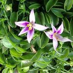 Hypsela reniformis rosea - Hypsela reniformis rosea - Hypsela