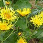 Inula helenium - Inula helenium - Griekse Alant