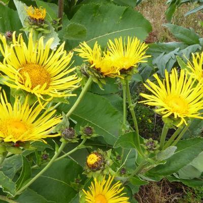 Inula helenium -