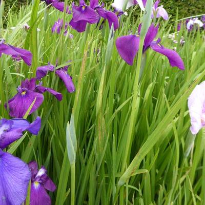 Iris ensata - Japanse iris - Iris ensata