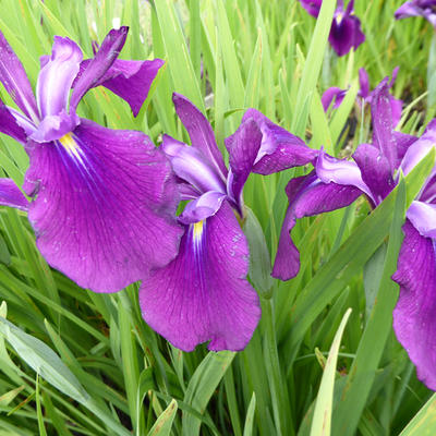 Iris ensata 'Amethyst' -