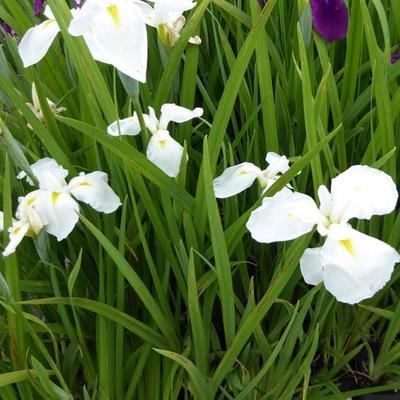 Iris ensata 'Diamant' -