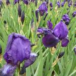 Iris germanica  'Black Knight' - Baardiris, zwaardiris