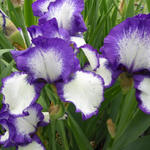 Iris germanica 'Loop the Loop' - Baardiris