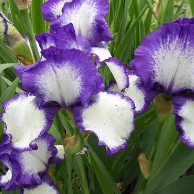 Iris germanica 'Loop the Loop' -