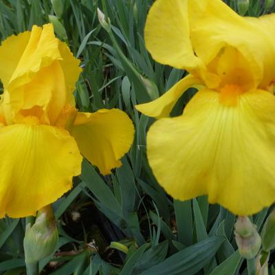 Iris germanica 'Ola Kala' - Baardiris, zwaardiris - Iris germanica 'Ola Kala'